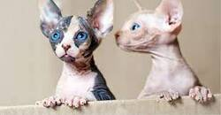 Bengal and sphynx kittens